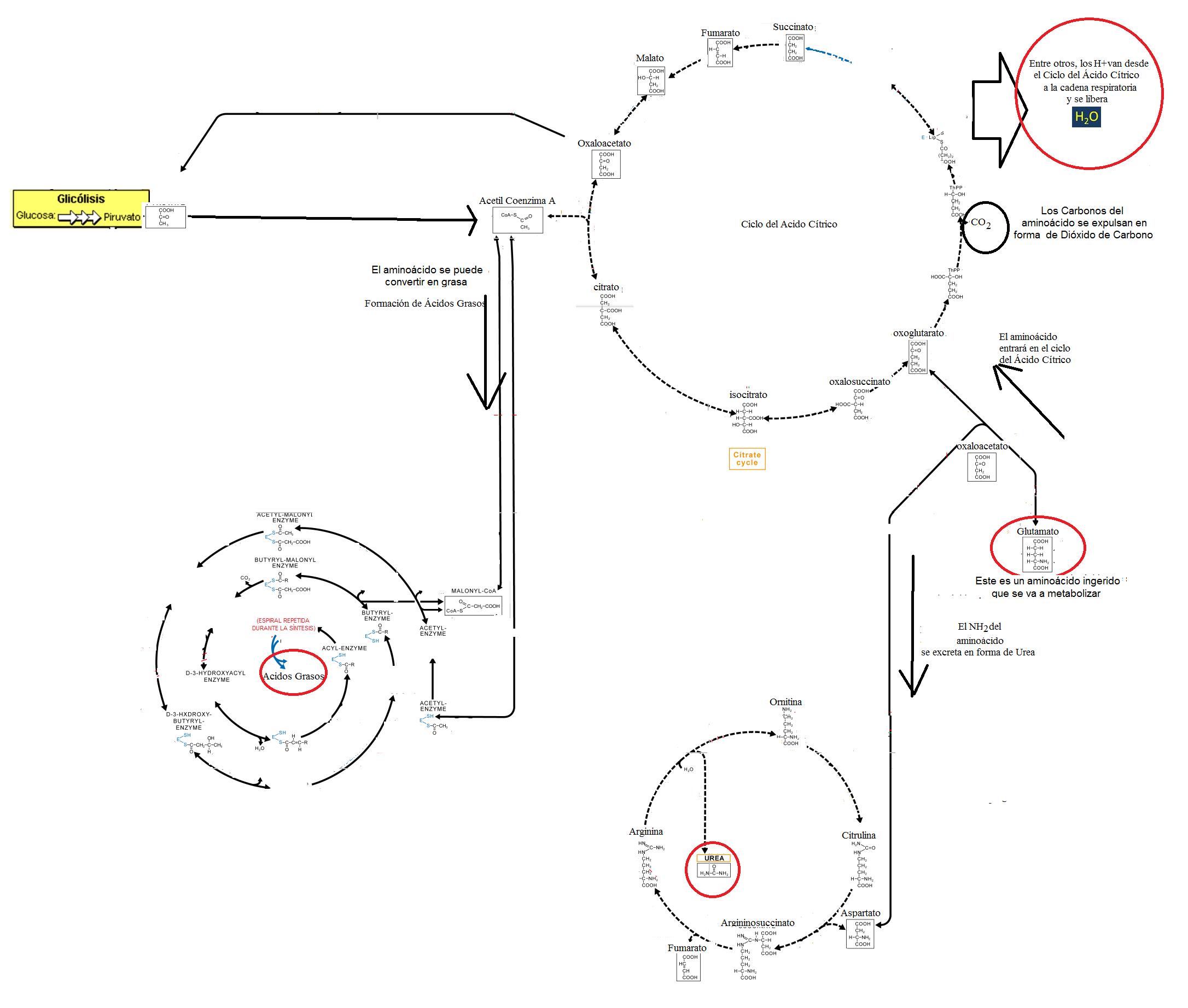 Esquema de ciclo de asimilación de aminoácidos.