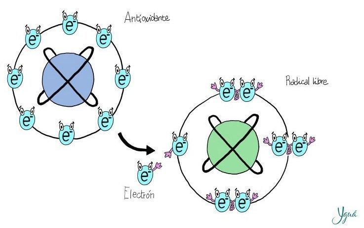 Los antioxidates actúan cediendo electrones ©.