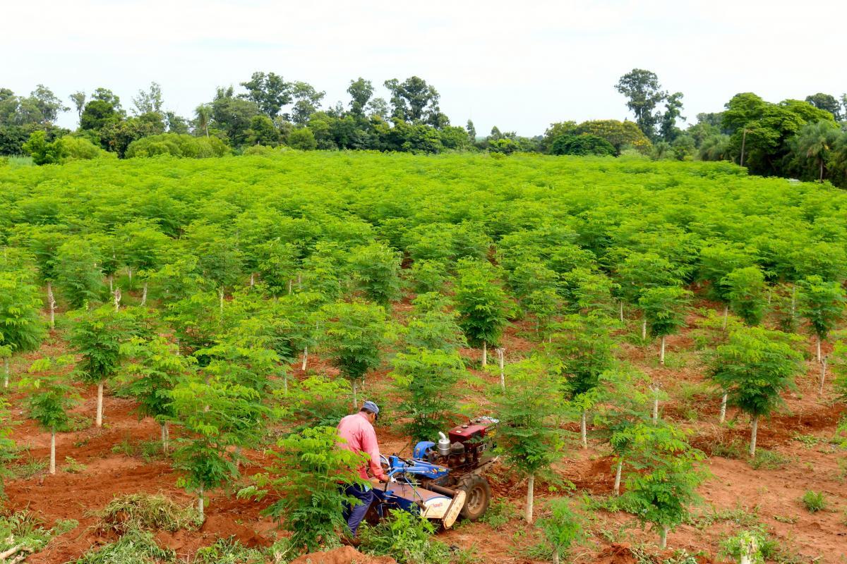 El sistema de producci n org nico de ygu moringa ygua for Que son cultivos asociados