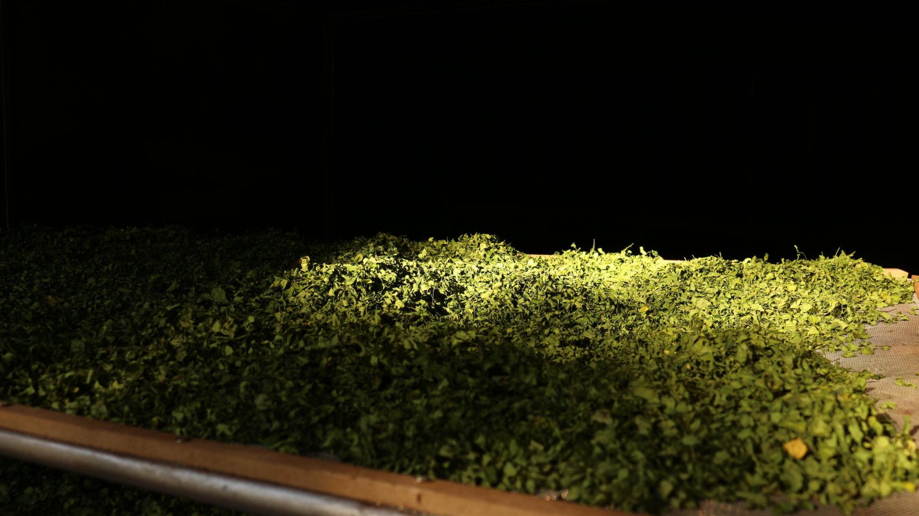 Las hojas secas de Moringa concentran todos los nutrientes de la este nutracéutico.