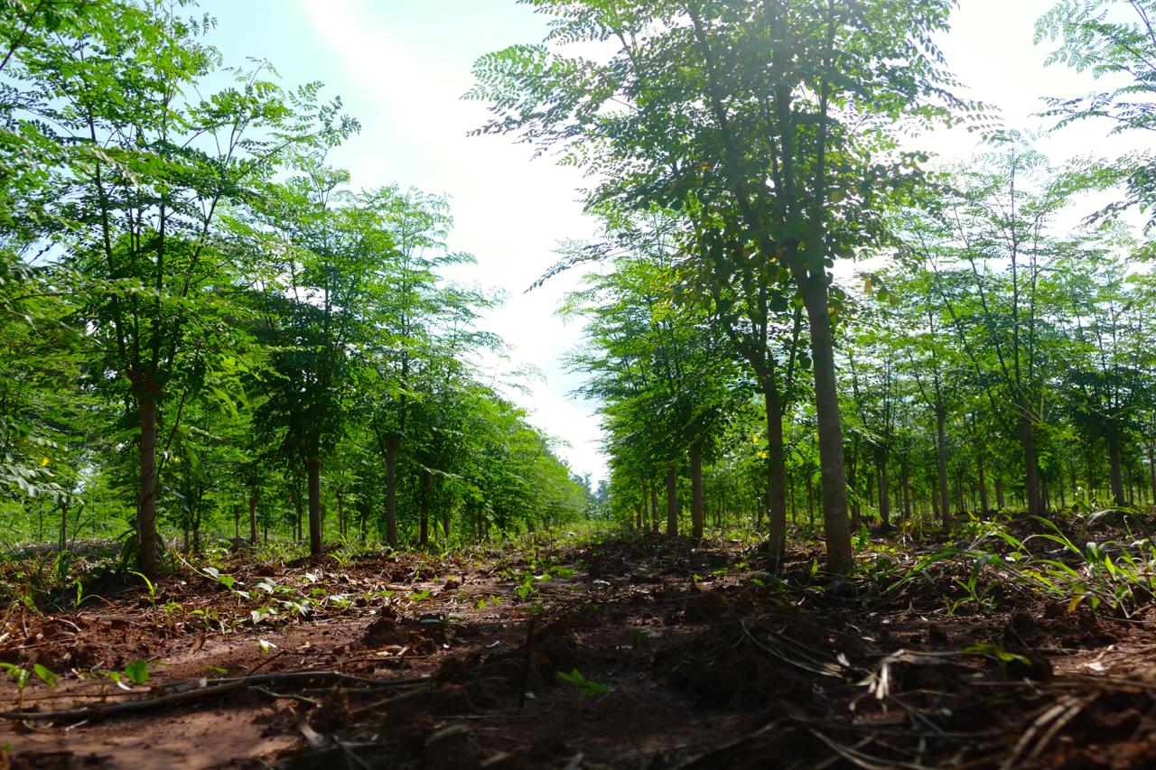 Simultáneamente, concluye el verano guaraní, cuya luz y temperatura ha impulsado el crecimiento de los árboles de Moringa.