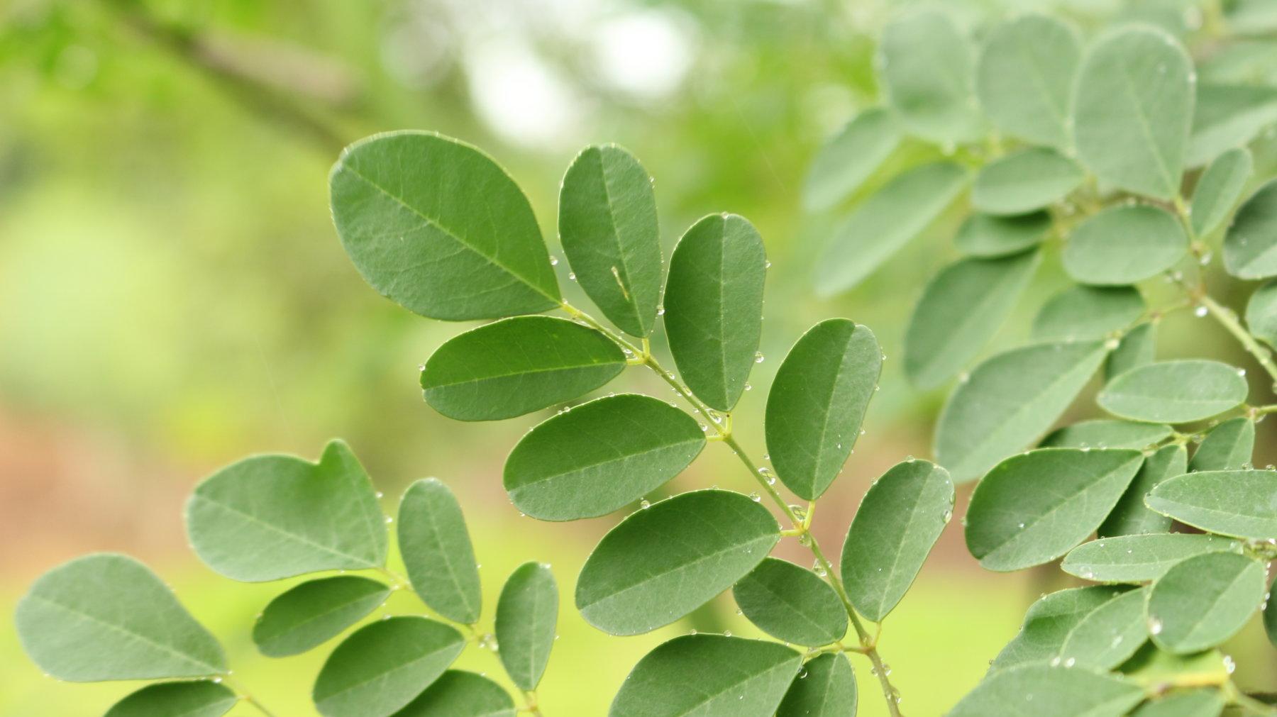 Las hojas de Moringa han sido utilizadas en beneficio de la salud humana desde la antigüedad.