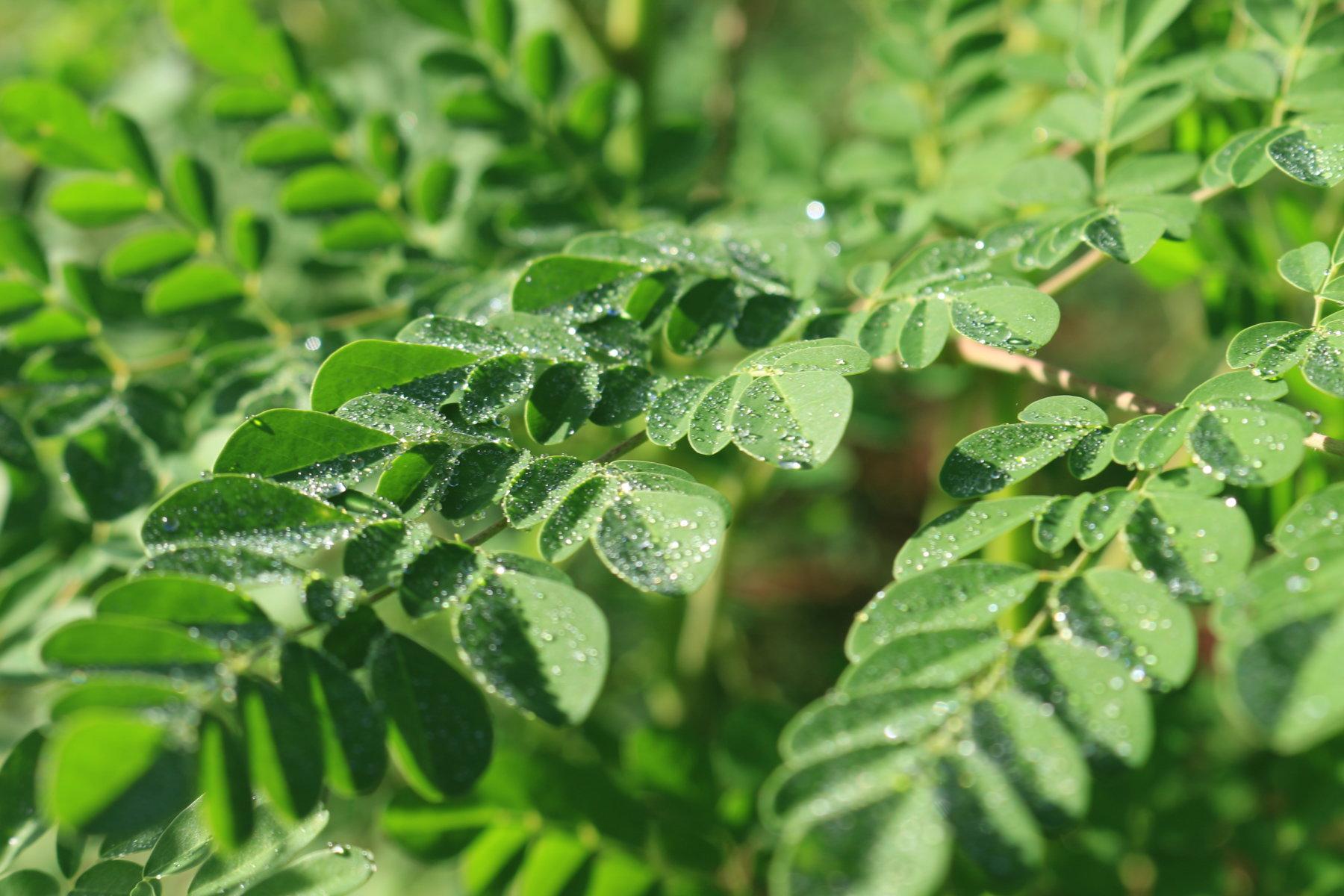 Hojas de Moringa oleifera, que concentran gran cantidad de micro y macro nutrientes con los que re-equilibrar los niveles de energía.