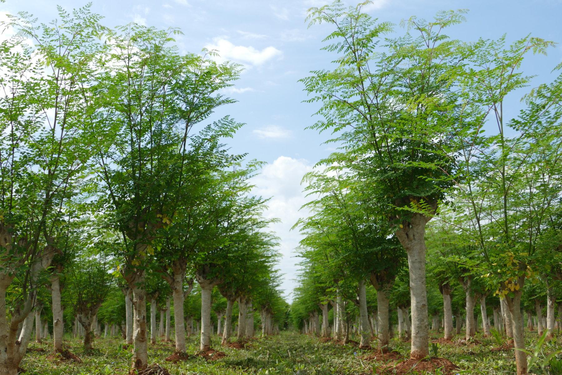 Hileras de árboles de Moringa oleifera, cuyas hojas son un alimento funcional nutracéutico a causa de su elevado contenido en micro y macro nutrientes, así como de su probado positivo efecto sobre la salud humana.