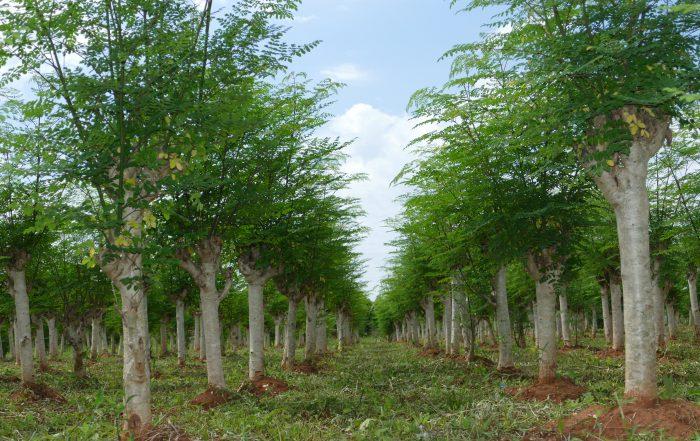La Moringa es un árbol tropical que crece de forma fructífera en Piribebuy, Paraguay.