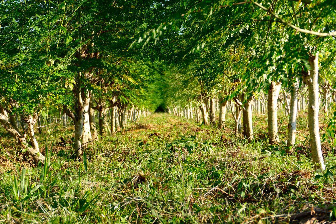 Árboles de Moringa, uno de los tesoros naturales que la Naturaleza ha creado.