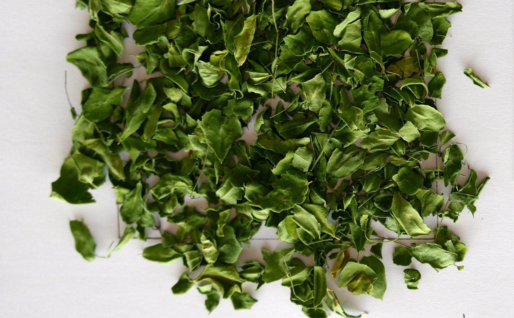 Hojas de Moringa biodinámica, fuente de proteína completa vegetal de alta calidad.